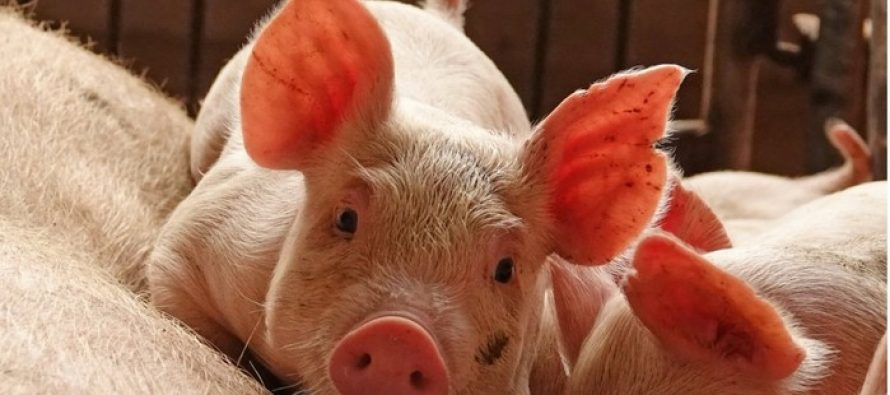 Swine Fever & Industrial Profit Decline Weakens Chinese Yuan
